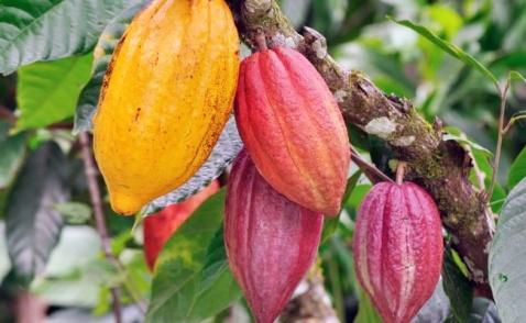 cacao-indigena